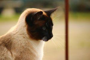 hidrocefalia gatos