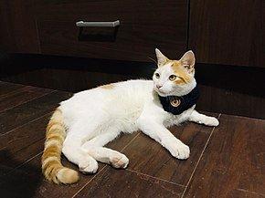 gato de la raza Van turco